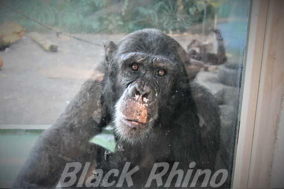 チンパンジー タカ02 伊豆シャボテン公園
