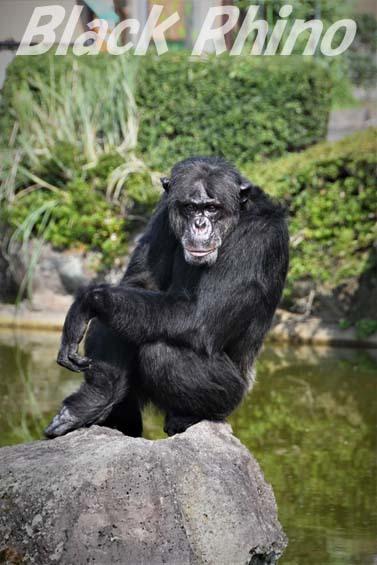 チンパンジー ビリー01 伊豆シャボテン公園