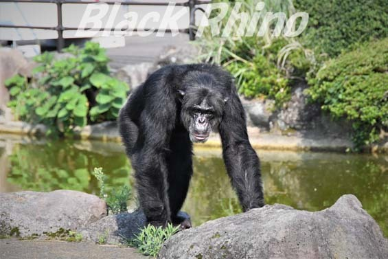 チンパンジー ビリー02 伊豆シャボテン公園