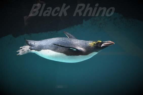 マカロニペンギン01 箱根園水族館