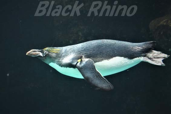 マカロニペンギン02 箱根園水族館