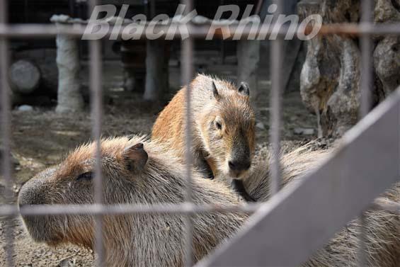カピバラ01 姫路市立動物園