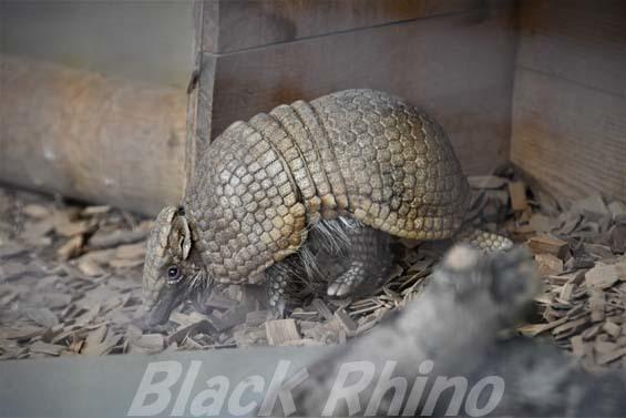 マタコミツオビアルマジロ01 姫路市立動物園