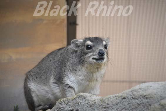 キボシイワハイラックス01 埼玉県こども動物自然公園