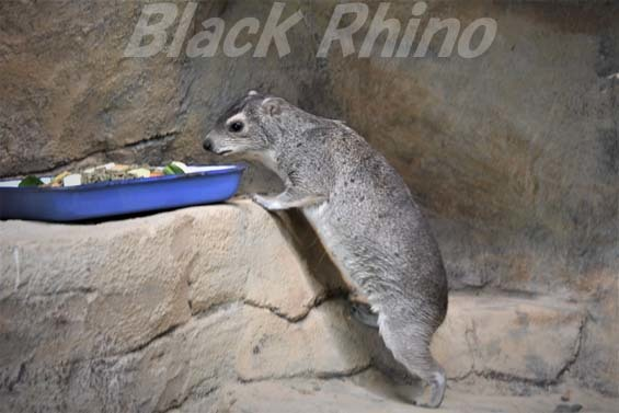 キボシイワハイラックス05 埼玉県こども動物自然公園
