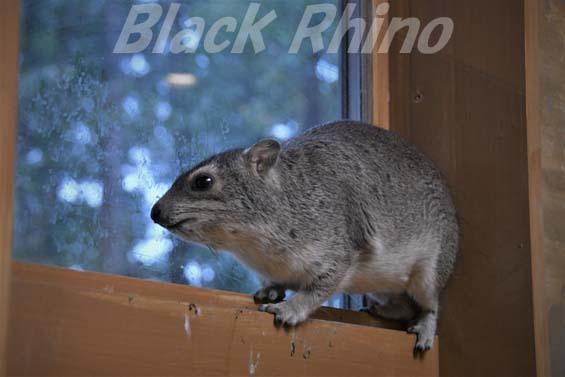 キボシイワハイラックス06 埼玉県こども動物自然公園
