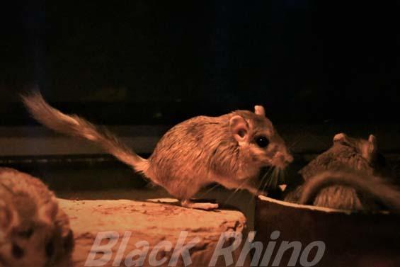 フサオスナネズミ02 埼玉県こども動物自然公園