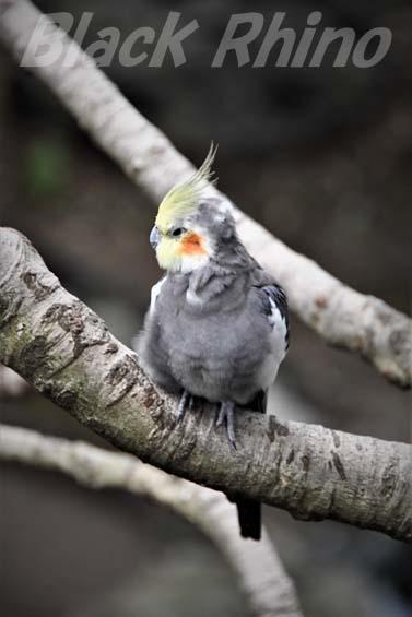 オカメインコ01 キャンベルタウン野鳥の森