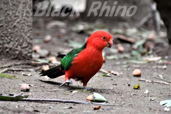 キンショウジョウインコ01 キャンベルタウン野鳥の森