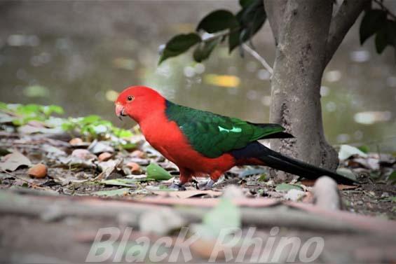 キンショウジョウインコ02 キャンベルタウン野鳥の森