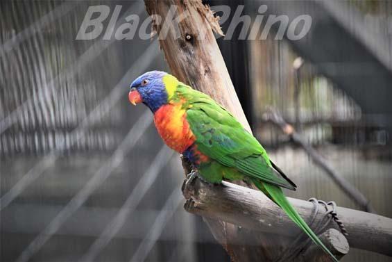 ゴシキセイガイインコ01 キャンベルタウン野鳥の森