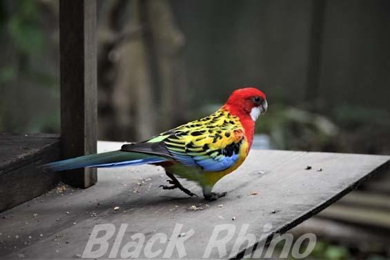 ナナクサインコ01 キャンベルタウン野鳥の森