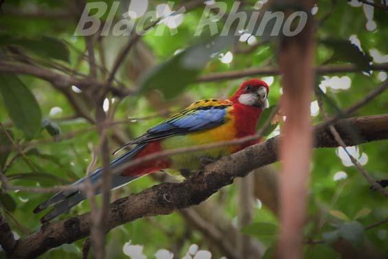 ナナクサインコ02 キャンベルタウン野鳥の森