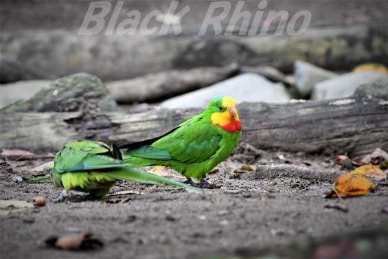 ミカヅキインコ01 キャンベルタウン野鳥の森