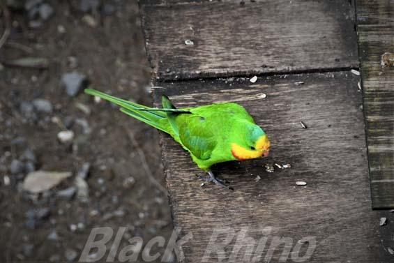 ミカヅキインコ02 キャンベルタウン野鳥の森