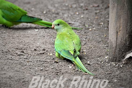 ミカヅキインコ03 キャンベルタウン野鳥の森