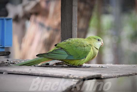 ミカヅキインコ04 キャンベルタウン野鳥の森