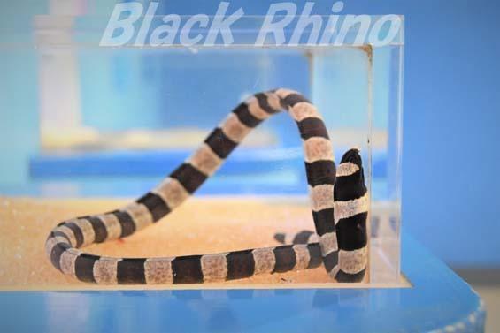 シマウミヘビ01 東海大学海洋科学博物館