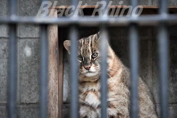 アムールヤマネコ ドン01 大宮公園小動物園