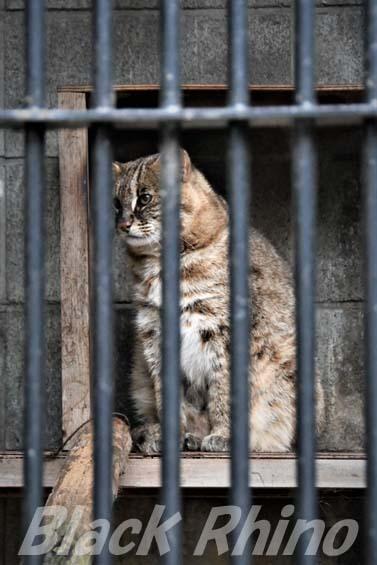 アムールヤマネコ ドン02 大宮公園小動物園