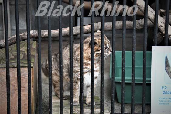 アムールヤマネコ ドン03 大宮公園小動物園