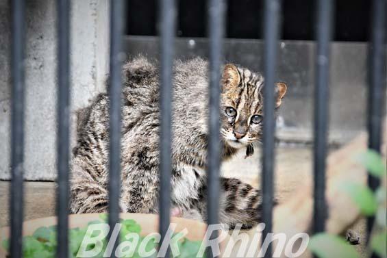 アムールヤマネコ ミーシャ01 大宮公園小動物園