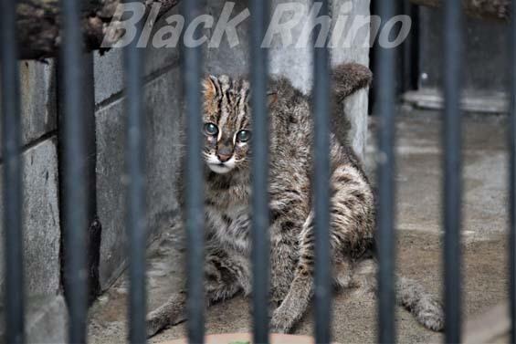 アムールヤマネコ ミーシャ04 大宮公園小動物園