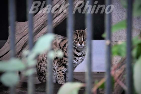 ベンガルヤマネコ 彩01 大宮公園小動物園