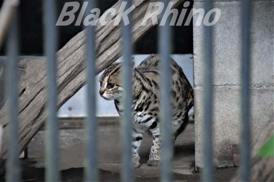 ベンガルヤマネコ 彩02 大宮公園小動物園