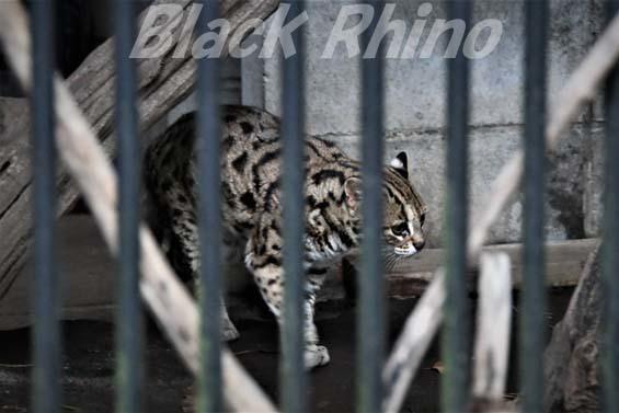 ベンガルヤマネコ 彩03 大宮公園小動物園