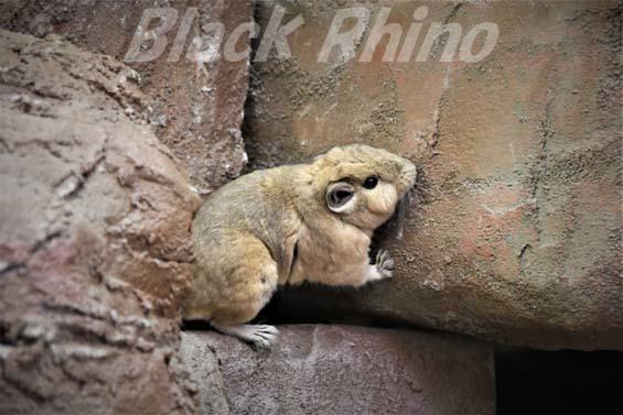 グンディ04 埼玉県こども動物自然公園