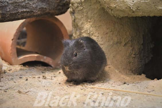 パンパステンジクネズミ02 埼玉県こども動物自然公園