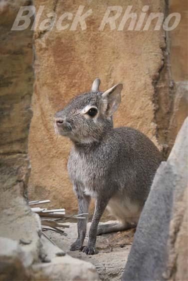 ヒメマーラ03 埼玉県こども動物自然公園