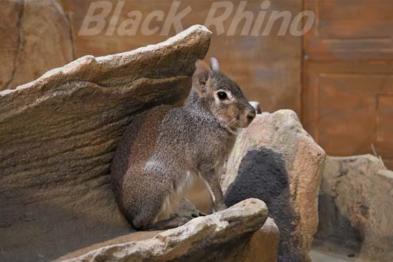 ヒメマーラ05 埼玉県こども動物自然公園