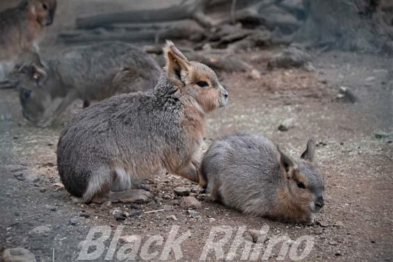 マーラ02 埼玉県こども動物自然公園