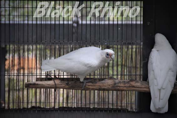 アカビタイジオウム01 キャンベルタウン野鳥の森