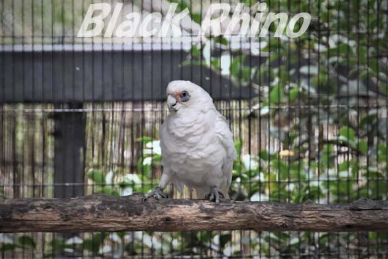 アカビタイジオウム02 キャンベルタウン野鳥の森