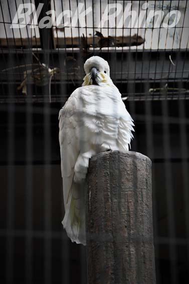 キバタン01 キャンベルタウン野鳥の森