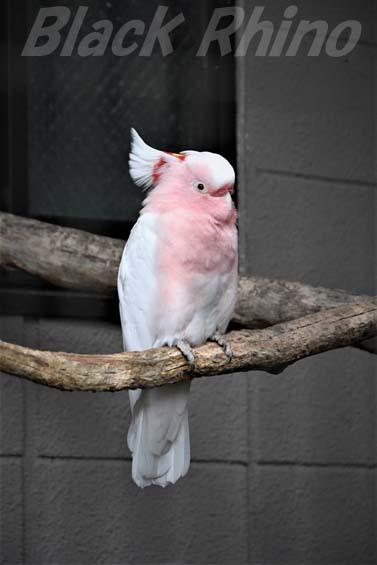 クルマサカオウム01 キャンベルタウン野鳥の森