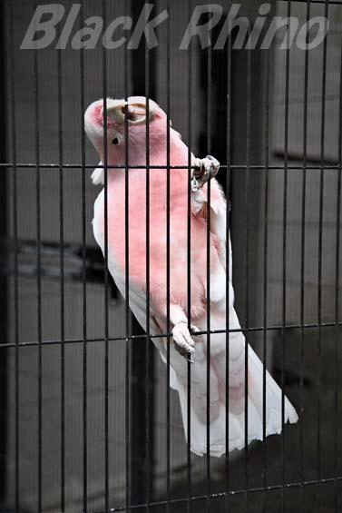 クルマサカオウム03 キャンベルタウン野鳥の森