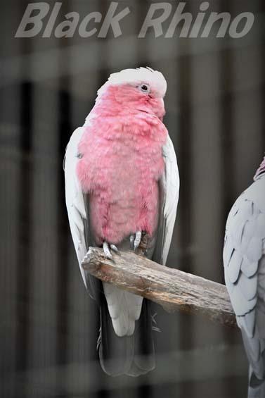 モモイロインコ01 キャンベルタウン野鳥の森