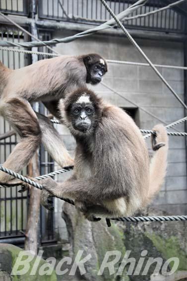 ブラウンケナガクモザル02 大宮公園小動物園