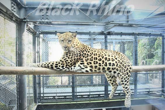ヒョウ01 福岡市動物園