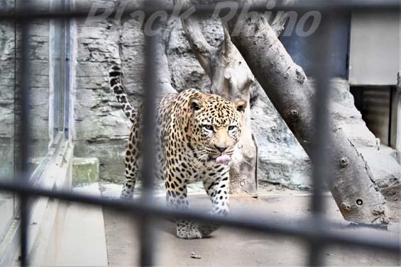 ヒョウ02 福岡市動物園