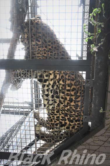 ヒョウ03 福岡市動物園
