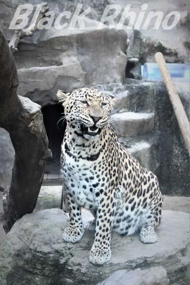 ヒョウ05 福岡市動物園