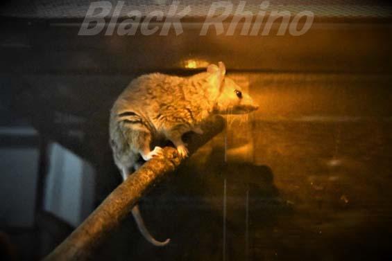 ハイイロジネズミオポッサム02 埼玉県こども動物自然公園