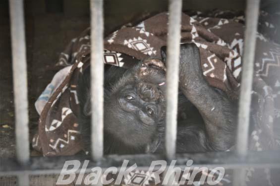 チンパンジー モンちゃん01 大内山動物園