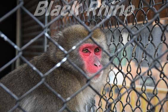 ニホンザル01 大内山動物園