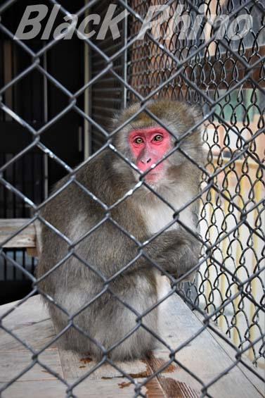 ニホンザル02 大内山動物園